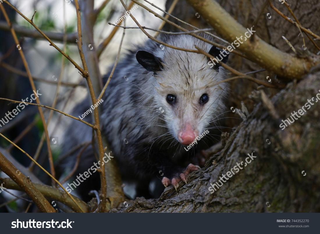stock-photo-possum-sitting-in-a-tree-744352270